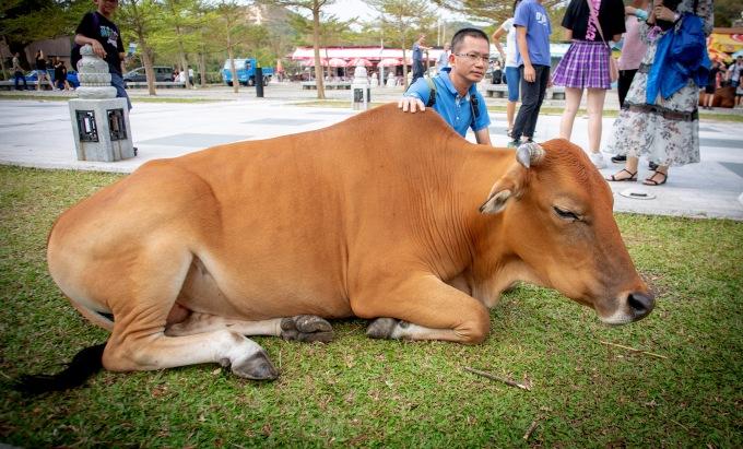 hong kong cow